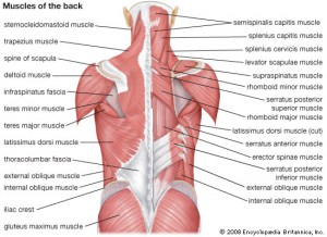 Muscles of the back *Image by Encyclopaedia Britannica, Inc.