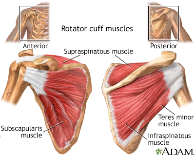 Rotator Cuff anatomy *Image by A.D.A.M. Inc.